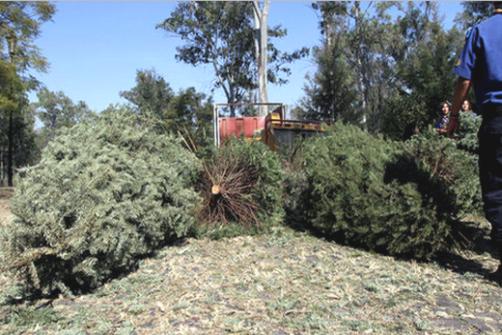 Reciclaje de árboles navideños