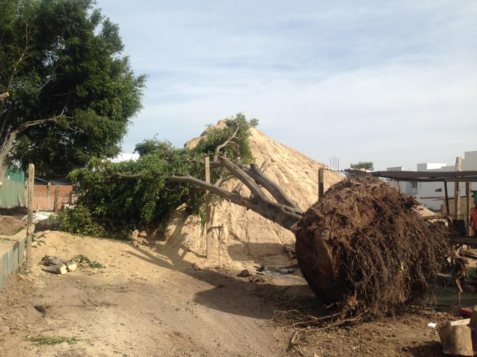 Tala de árboles - Fraccionamiento Los Olivos