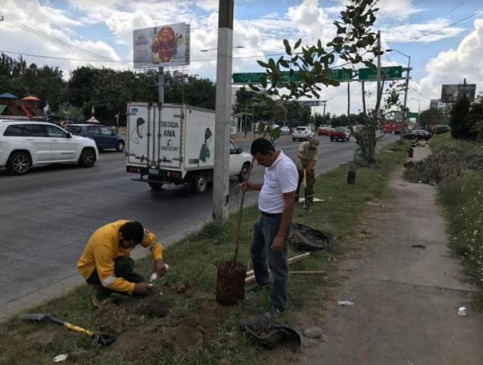 Medio Ambiente Zapopan realiza reforestación en Bugambilias ante poda ilegal