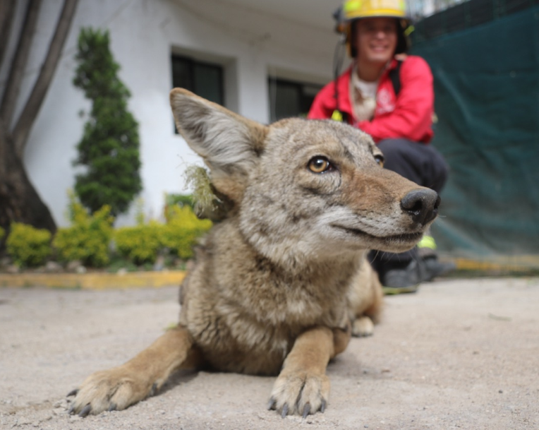 Rescatan a coyote hembra en la colonia Ciudad Granja