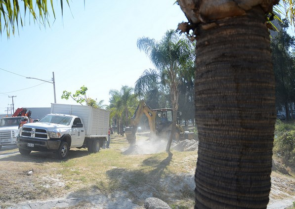 Inicia Zapopan trabajos de rescate de palmeras para donarlas a Jamay